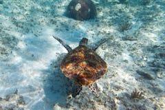Grüne Schildkröte im karibischen Meer Lizenzfreie Stockbilder