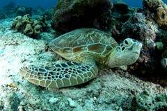 Grüne Schildkröten Stockbild