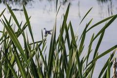 Grüne Schilfe auf dem Teich stockfoto