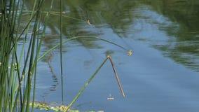 Grüne Schilfe auf Rand von Teich mit Libellen stock video