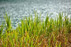 Grüne Schilfe, die ruhig durch den See schaukeln stockfotos