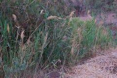 Grüne Schilfe im Sumpf, verwischt Lizenzfreie Stockfotos