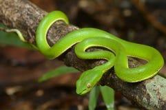 Grüne Schlange Stockbilder