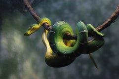 Grüne Schlange lizenzfreie stockfotos