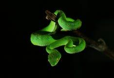 Grüne Schlange lizenzfreie stockbilder