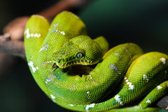 Grüne Schlange Stockfotografie