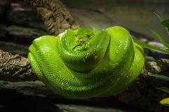Grüne Schlange Lizenzfreies Stockfoto