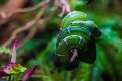 Grüne Schlange - Belgrad-Zoo lizenzfreies stockfoto