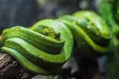 Grüne Schlange - Belgrad-Zoo lizenzfreies stockbild