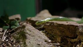Grüne Schlange, die durch sein Vivarium gleitet stock video footage