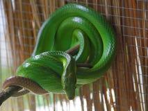 Grüne Schlange mit großen Augen Stockbilder