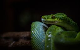 Grüne Schlange, Pythonschlange, die in der Dunkelheit sich versteckt lizenzfreie stockfotografie