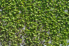 Grüne Schmerle wächst lizenzfreies stockbild