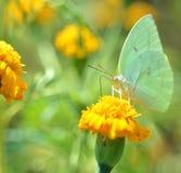 Grüne Schmetterlinge Lizenzfreies Stockbild