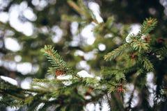 Grüne schneebedeckte Niederlassungen des Weihnachtsbaumabschlusses oben Stockbilder
