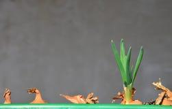 Grüne Schnittlauche des Frühlinges lizenzfreie stockfotos