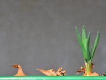 Grüne Schnittlauche des Frühlinges stockfotos