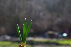 Grüne Schnittlauche des Frühlinges stockbilder