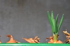 Grüne Schnittlauche des Frühlinges lizenzfreies stockbild