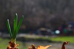 Grüne Schnittlauche des Frühlinges lizenzfreies stockfoto