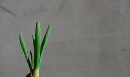 Grüne Schnittlauche des Frühlinges lizenzfreie stockbilder