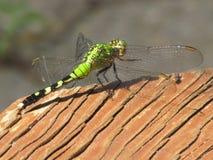 Grüne, schwarze und gelbe Libelle Stockbild