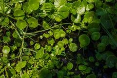 Grüne Seeroseblätter auf braunem Hintergrund Lizenzfreie Stockfotografie