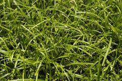 Grüne Seggenahaufnahme Stockfotografie