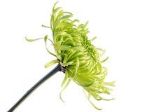 Grüne Shamrockchrysantheme Lizenzfreie Stockbilder