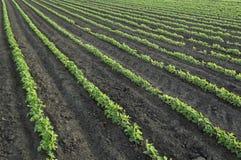 Grüne Sojabohnenölanlage auf dem landwirtschaftlichen Gebiet stockbild