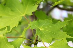 Grüne Sommerahornblätter, die im Park wachsen Stockbilder