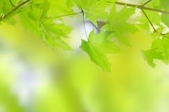 Grüne Sommerblätter mit einem Unschärfenhintergrund Stockfotografie
