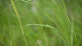 Grüne Sommergrasstrohe im hellen Sommer sausen stock video footage