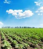 grüne Sonnenblume auf Frühlingsfeld unter blauem Himmel mit Wolke Lizenzfreie Stockfotografie