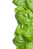 Grüne Spinatblätter Stockbild