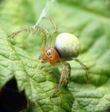 Grüne Spinne lizenzfreie stockfotos
