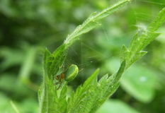 Grüne Spinne auf Blatt Stockfoto