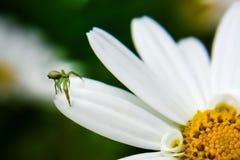 Grüne Spinne auf weißem Gänseblümchen Stockbild