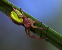 Grüne Spinne der Gurke, Araniella-cucurbittina Frau Lizenzfreie Stockfotos