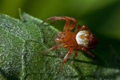 Grüne Spinne der Gurke, Araniella-displicata Mann Lizenzfreies Stockfoto