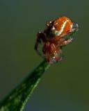 Grüne Spinne der Gurke, Araniella-displicata Mann Lizenzfreie Stockfotos