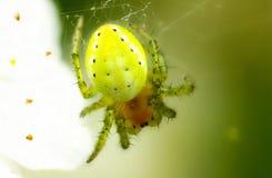 Grüne Spinne in einem Wald stockbilder