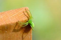 Grüne Spinne im Sonnenlicht Stockbild