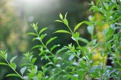 Grüne Sprösslinge Stockfotografie