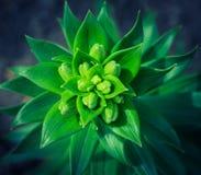 Grüne Sprösslinge der Lilie in einem Garten Lizenzfreies Stockbild