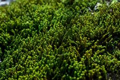 Grüne Sprösslinge des Moosabschlusses oben an einem sonnigen Sommertag, selektiver Fokus, Hintergrund lizenzfreies stockfoto