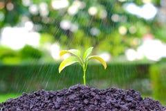 Grüne Sprösslinge im Regen auf einem Garten, Bewässerungs-Betriebswachsen stockbild