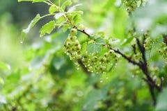 Grüne Stachelbeere im Garten in den Wassertropfen nach Regen Die Niederlassung der Stachelbeere lizenzfreies stockbild