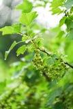 Grüne Stachelbeere im Garten in den Wassertropfen nach Regen Die Niederlassung der Stachelbeere stockfotografie
