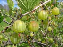 Grüne Stachelbeeren auf dem Zweig Lizenzfreie Stockbilder